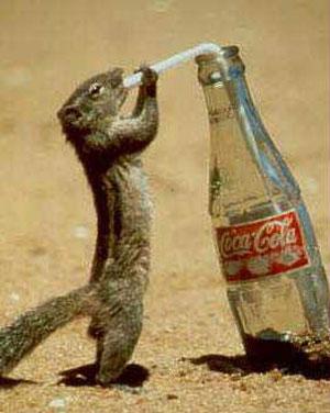 Meerkats drinking Cola